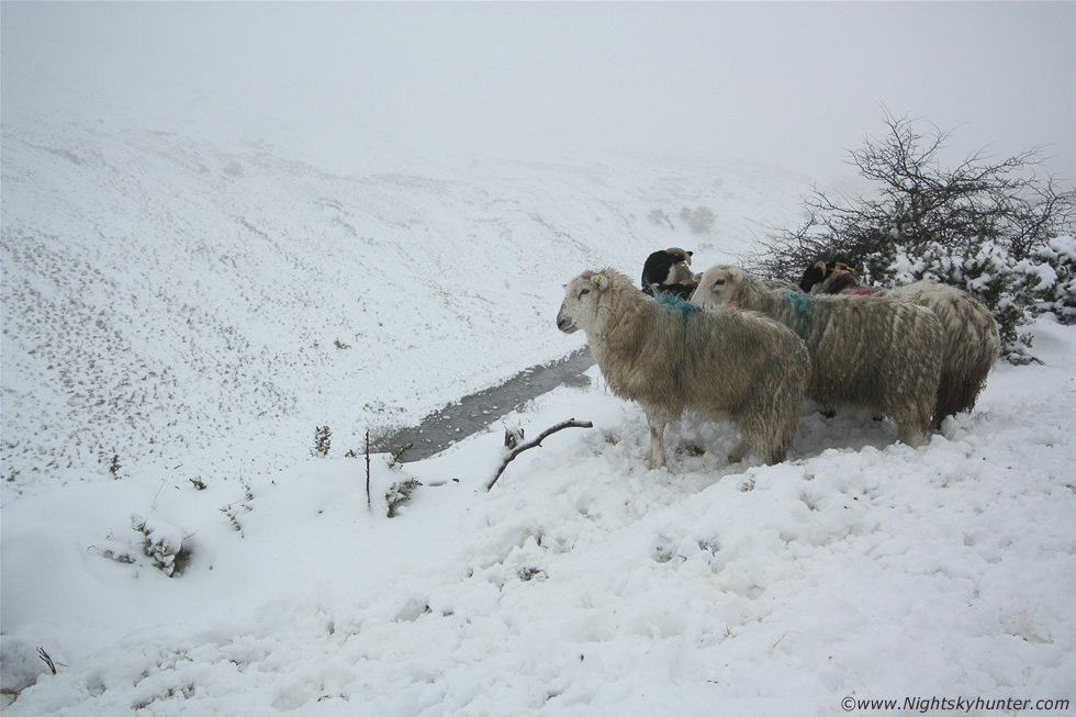 Glenshane Pass Snow Sheep